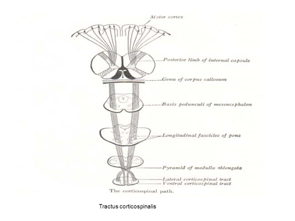 Diagram tractus corticospinalis