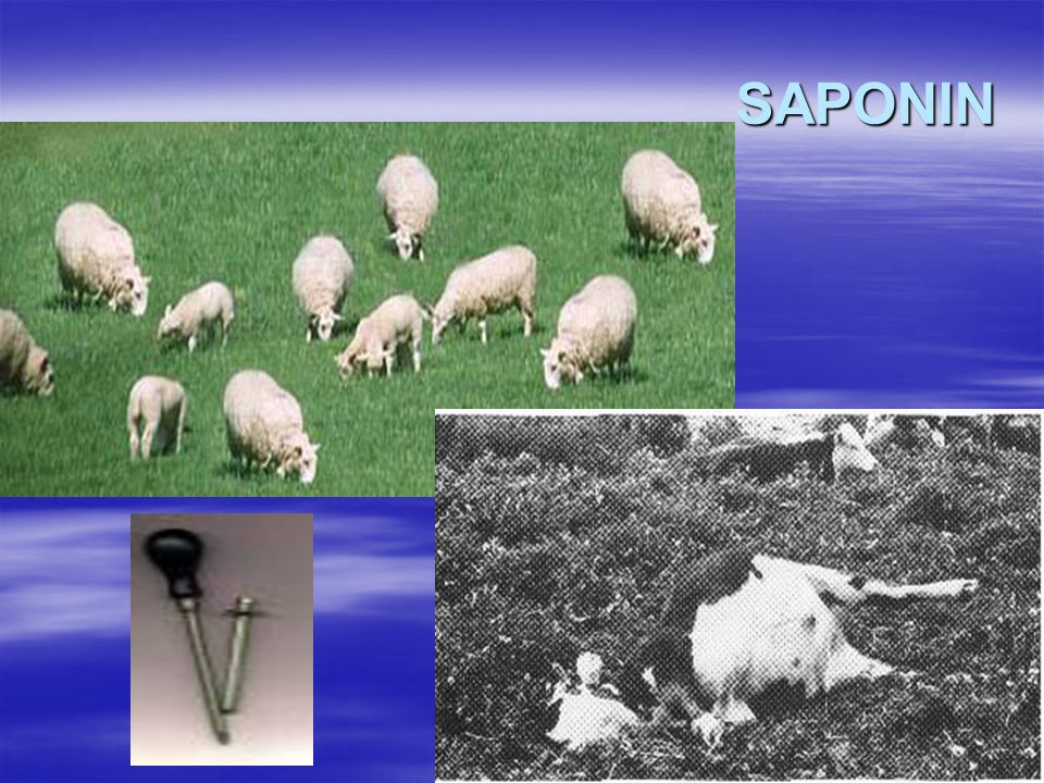 SAPONIN  Efek saponin pada ternak :  Monogastrik ayam lebih sensitive dari pada babi.  Pemberian 0,4-0,5% saponin akan menurunkan konsumsi pakan (a