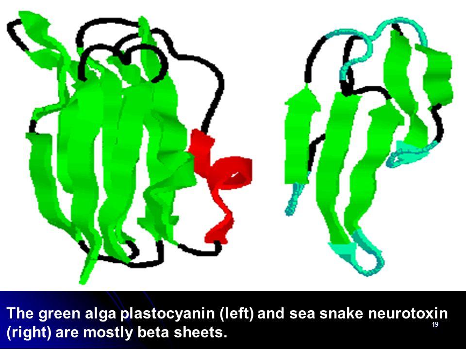 19 The green alga plastocyanin (left) and sea snake neurotoxin (right) are mostly beta sheets.