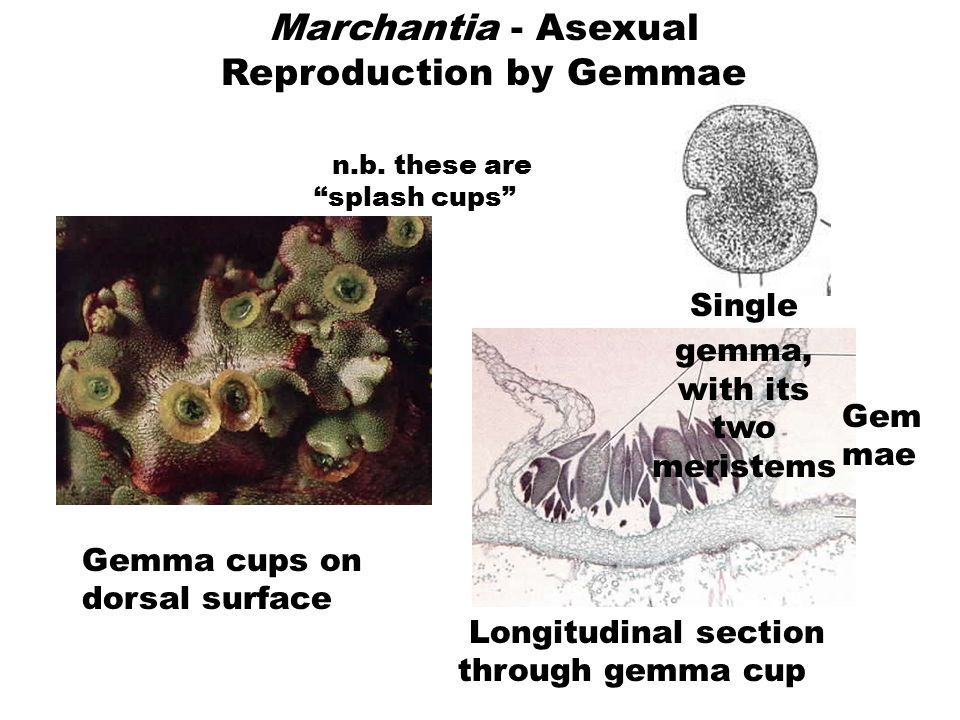 Marchantia - Sexual Reproduction Archegonia and Archegoniophores Female thalli with archegoniophor es Drawing of longitudinal section through archegon