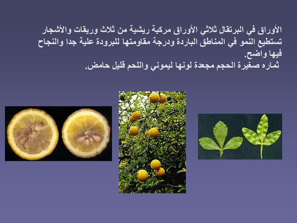 الأوراق في البرتقال ثلاثي الأوراق مركبة ريشية من ثلاث وريقات والأشجار تستطيع النمو في المناطق الباردة ودرجة مقاومتها للبرودة علية جدا والنجاح فيها واض