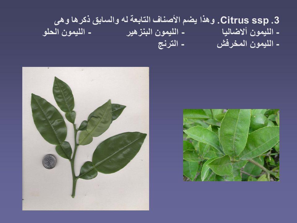 3. Citrus ssp. وهذا يضم الأصناف التابعة له والسابق ذكرها وهى - الليمون ألاضاليا - الليمون البنزهير - الليمون الحلو - الليمون المخرفش - الترنج
