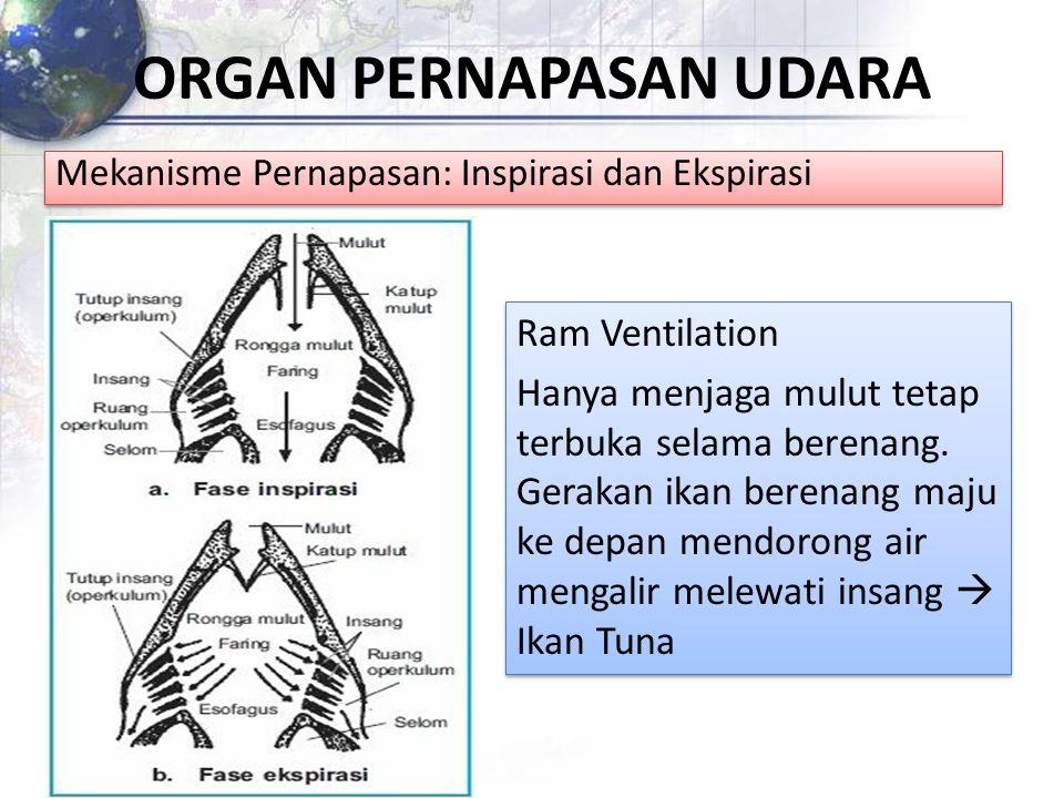 ORGAN PERNAPASAN UDARA Mekanisme Pernapasan: Inspirasi dan Ekspirasi Ram Ventilation Hanya menjaga mulut tetap terbuka selama berenang. Gerakan ikan b