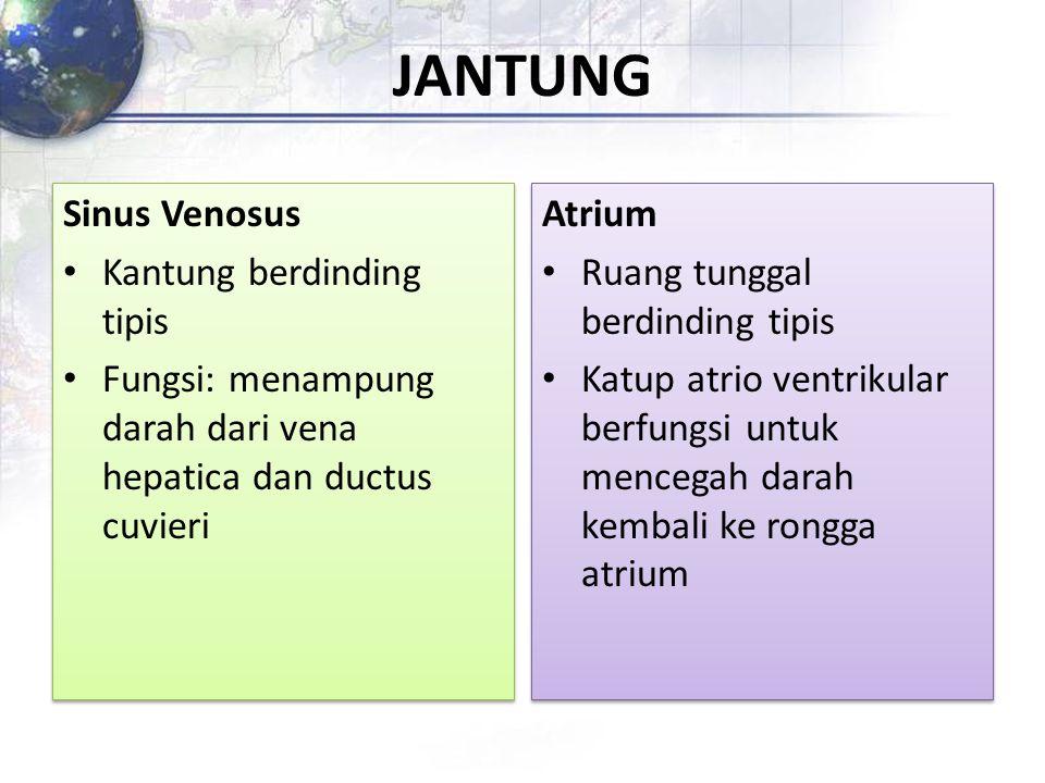 JANTUNG Sinus Venosus Kantung berdinding tipis Fungsi: menampung darah dari vena hepatica dan ductus cuvieri Sinus Venosus Kantung berdinding tipis Fu
