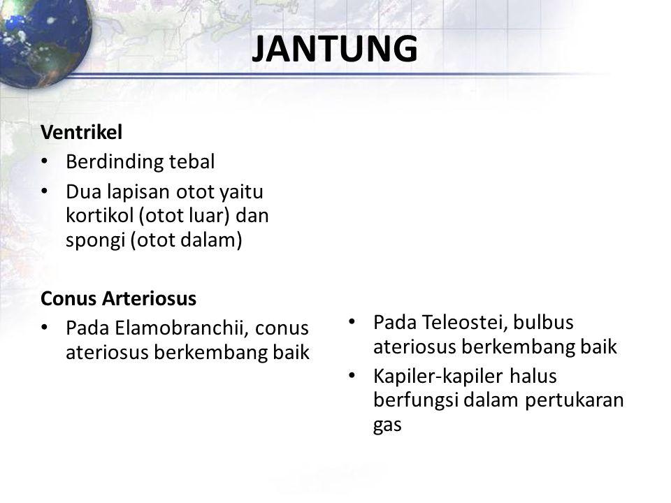 JANTUNG Ventrikel Berdinding tebal Dua lapisan otot yaitu kortikol (otot luar) dan spongi (otot dalam) Conus Arteriosus Pada Elamobranchii, conus ater