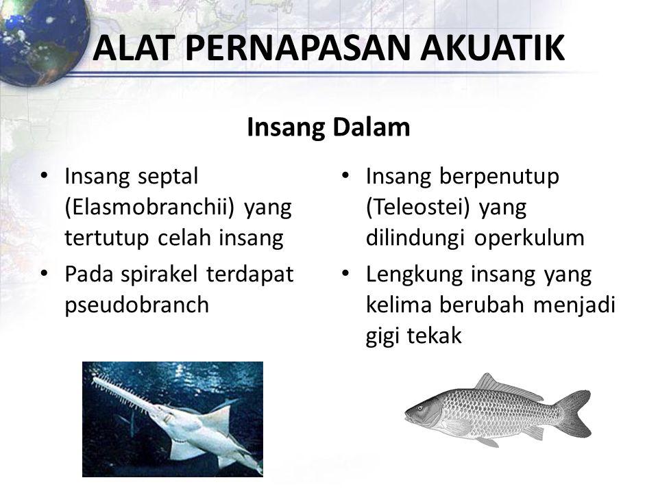 ALAT PERNAPASAN AKUATIK Insang Dalam Insang septal (Elasmobranchii) yang tertutup celah insang Pada spirakel terdapat pseudobranch Insang berpenutup (