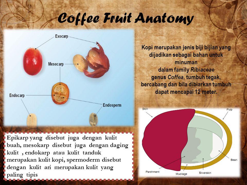 Coffee Fruit Anatomy Kopi merupakan jenis biji bijian yang dijadikan sebagai bahan untuk minuman dalam family Ribiaceae genus Coffea, tumbuh tegak, be