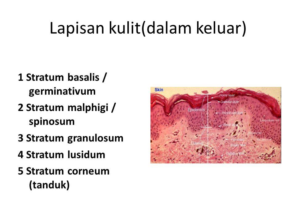 Vesikel : berisi cairan, ukuran tidak lebih dari 1 cm Bula : ~ vesikel, ukuran > 1 cm