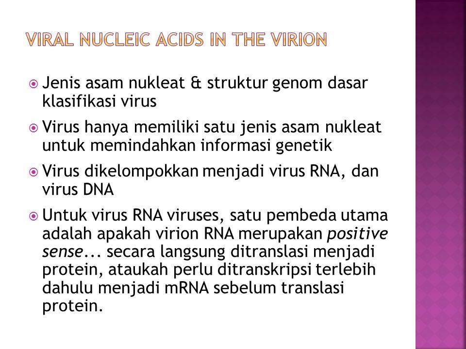  Jenis asam nukleat & struktur genom dasar klasifikasi virus  Virus hanya memiliki satu jenis asam nukleat untuk memindahkan informasi genetik  Virus dikelompokkan menjadi virus RNA, dan virus DNA  Untuk virus RNA viruses, satu pembeda utama adalah apakah virion RNA merupakan positive sense...