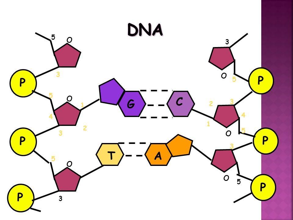 DNA RNA PROTEIN Protein Fungsional 1.Bioregulator (Hormon) 2.