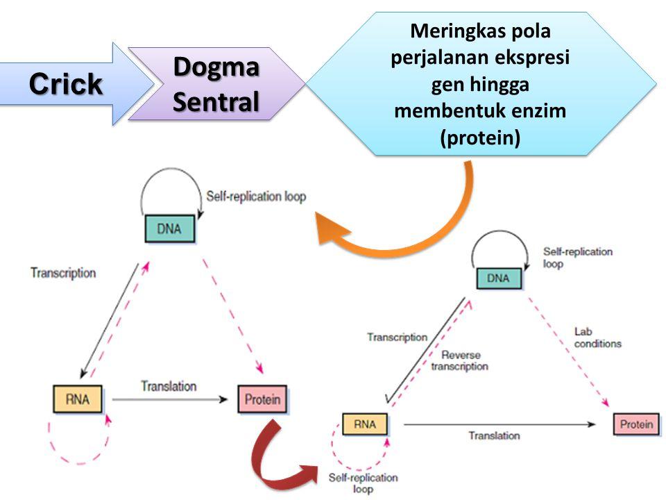 CrickCrick Dogma Sentral Meringkas pola perjalanan ekspresi gen hingga membentuk enzim (protein)