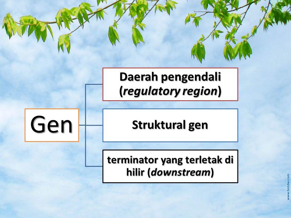 Gen Daerah pengendali (regulatory region) Struktural gen terminator yang terletak di hilir (downstream)