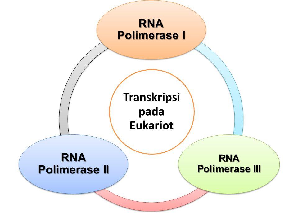 Transkripsi pada Eukariot RNA Polimerase I RNA Polimerase III RNA Polimerase II
