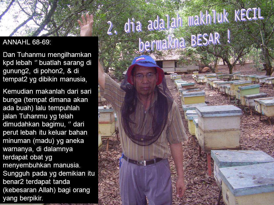 ANNAHL 68-69: Dan Tuhanmu mengilhamkan kpd lebah '' buatlah sarang di gunung2, di pohon2, & di tempat2 yg dibikin manusia, Kemudian makanlah dari sari bunga (tempat dimana akan ada buah) lalu tempuhlah jalan Tuhanmu yg telah dimudahkan bagimu, '' dari perut lebah itu keluar bahan minuman (madu) yg aneka warnanya, di dalamnya terdapat obat yg menyembuhkan manusia.