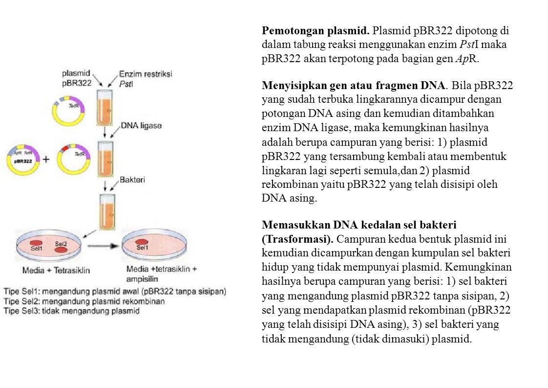 Pemotongan plasmid. Plasmid pBR322 dipotong di dalam tabung reaksi menggunakan enzim PstI maka pBR322 akan terpotong pada bagian gen ApR. Menyisipkan