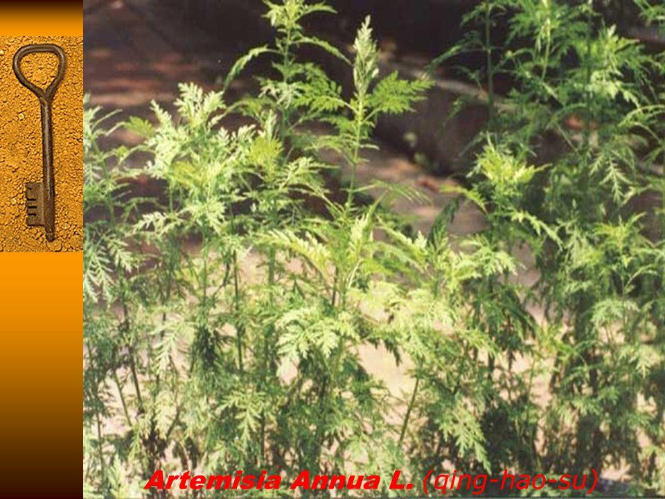 Artemisia Annua L. (qing-hao-su)