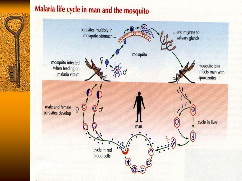 ARTESUNATE  MEMPUNYAI EFEK MENGHAMBAT DAN MEMBUNUH GAMETOSIT  SANGAT EFEKTIF DALAM MENANGGULANGI INFEKSI MALARIA YANG MULTIRESISTEN.