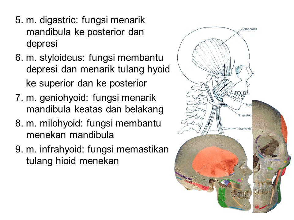 5. m. digastric: fungsi menarik mandibula ke posterior dan depresi 6. m. styloideus: fungsi membantu depresi dan menarik tulang hyoid ke superior dan