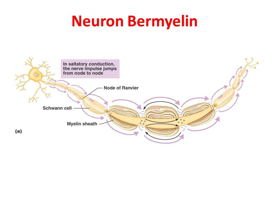 Bagaimana Kerja Neuron Memegang dan Menggerakan Info .