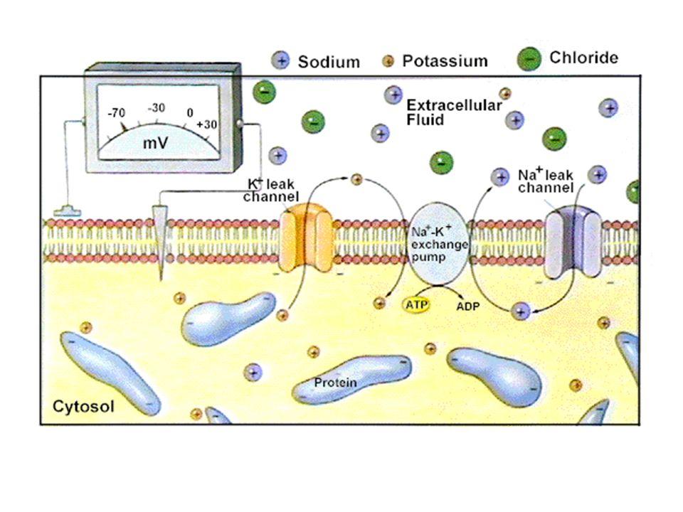 Impuls Saraf adalah Sinyal Bioelektrik Pompa Sodium-Pottasium menggunakan ATP untuk mentransport ion sodium ke luar dan ion pottasium masuk ke dalam membran Pada waktu neuron beristirahat memiliki muatan negatif relatif terhadap keadaan di luar membran Potensial aksi reversal dan restorasi muatan berbeda yang menembus membran Pompa sodium-potassium dapat menyimpan kembali persebaran original ion-ion Potensial Aksi adalah all-or-none events