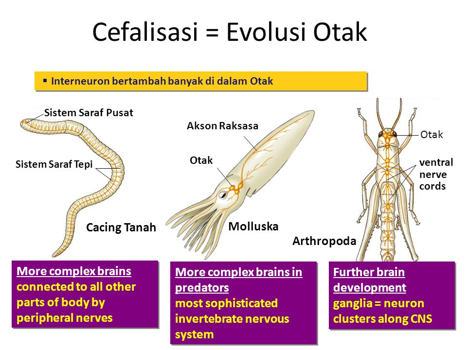 Cefalisasi = Evolusi Otak Cnidarian Saraf jalat Simplest nervous system no control of complex actions Simplest nervous system no control of complex actions More organization but still based on nerve nets; supports more complex movement More organization but still based on nerve nets; supports more complex movement  Cephalization = clustering of neurons in brain at front (anterior) end of bilaterally symmetrical animals Cacing Pipih Platyhelminthes Saraf korda Kumpulan Neuron Simplest, defined central nervous system more complex muscle control Simplest, defined central nervous system more complex muscle control Echinodermata Saraf radial Saraf rusuk  where sense organs are