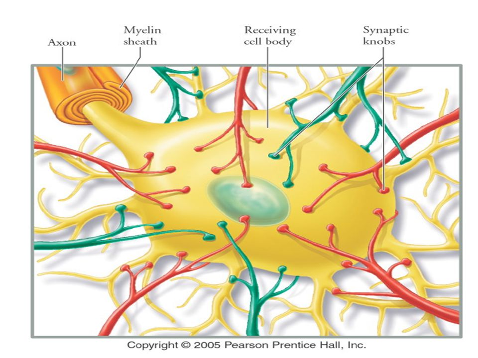 Tipe Kimiawi synapse Acetylcholine: neuromuscular junctions, kelenjar, otak dan spinal cord Norepinepherine: mempengaruhi bagian otak berkaitan dengan emosi dan mimpi