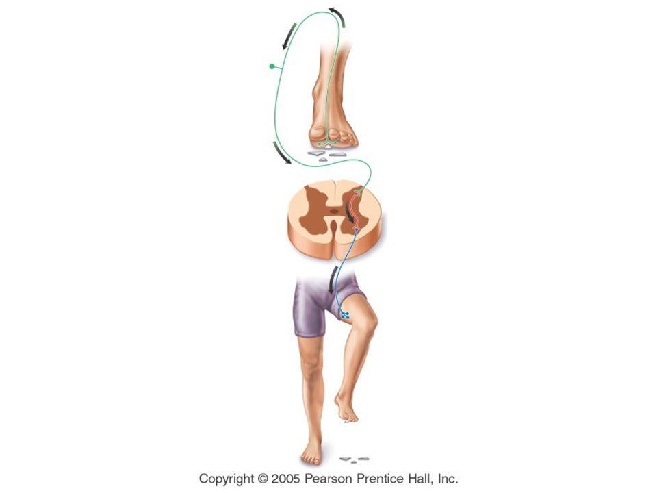 Jalur Aliran Informasi Sinyal di antara Otak dan Spinal Cord bergerak ke bagian tubuh melalui sel saraf Sensory nerves :sinyal bergerak ke arah Otak dan Spinal Cord Motor neurons: menggerakkan sinyal dari Otak atau Spinal Cord ke Bagian tubuh