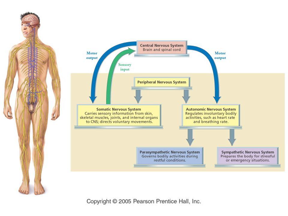 Pembagian Sistem Saraf Sistem Saraf Pusat ( Central nervous system ) CNS Otak dan Spinal Cord Sistem Saraf Tepi (Peripheral nervous system) PNS Semua saraf yang membawa sinyal ke dan dari CNS