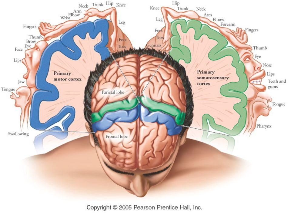 Stimulus (4) Motor Neuron (3) Synapse pada Spinal Cord Gray Matter Ventral Root Biceps Femoris Muscle (Rileks) Dorsal Root Dorsal Root Ganglion (2) Sensori Neuron (5)Quadriceps Femoris Muscle (Kontraksi) (1) Stretc Receptor Gb.