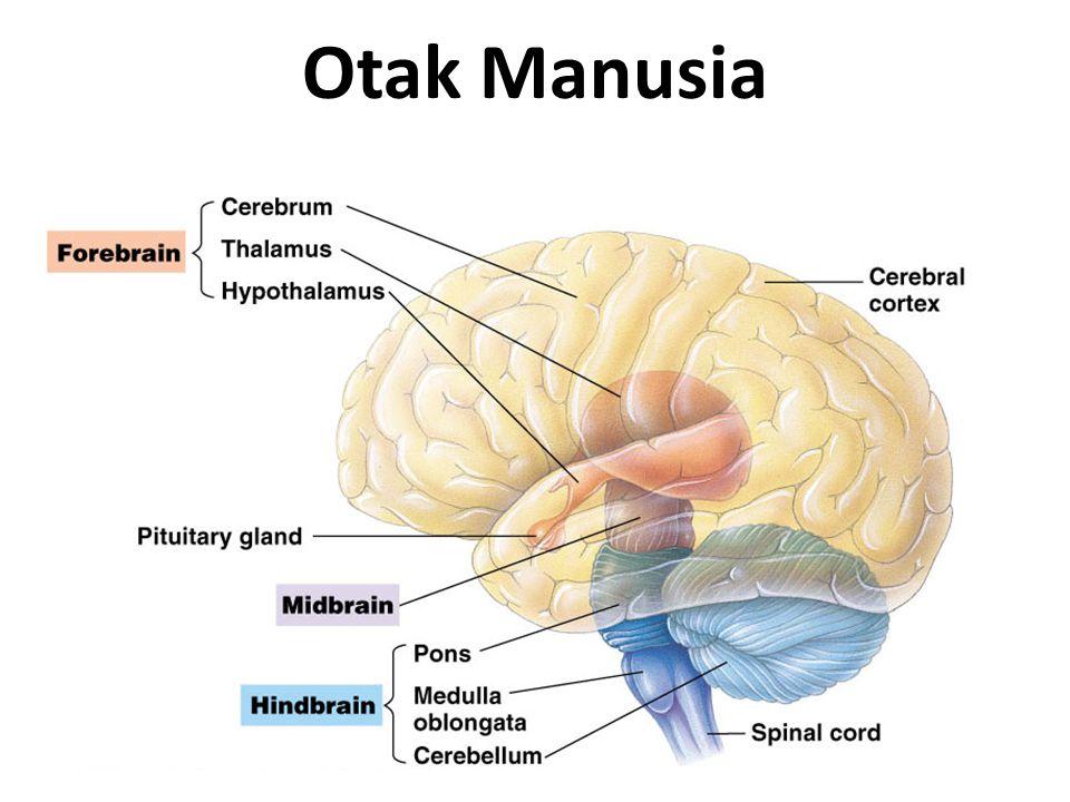 Perkembangan Otak Manusia
