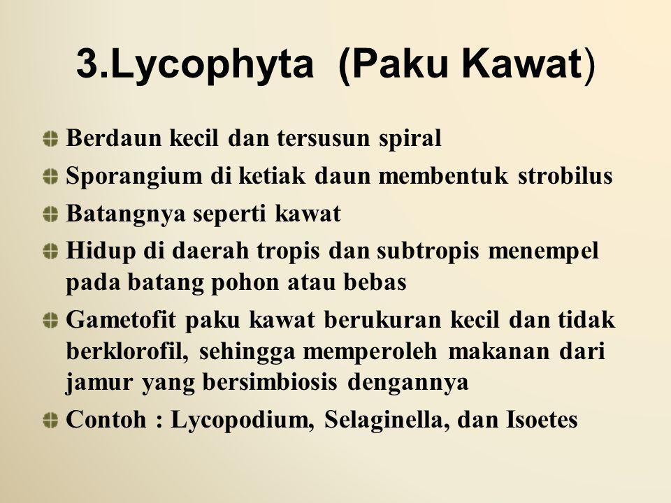 3.Lycophyta (Paku Kawat) Berdaun kecil dan tersusun spiral Sporangium di ketiak daun membentuk strobilus Batangnya seperti kawat Hidup di daerah tropi