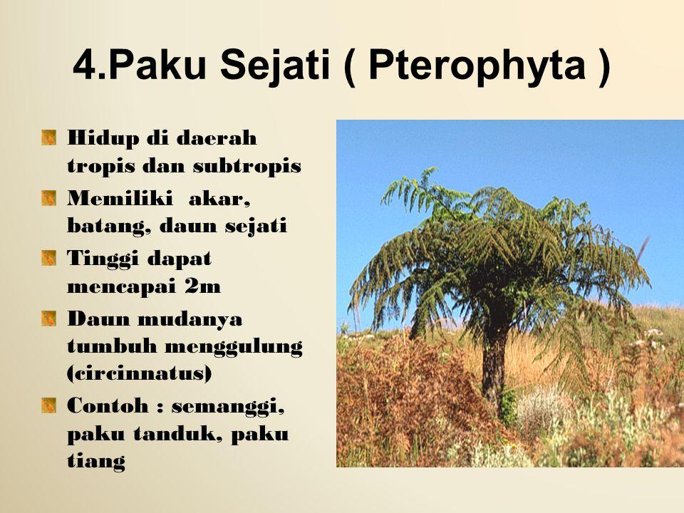 4.Paku Sejati ( Pterophyta ) Hidup di daerah tropis dan subtropis Memiliki akar, batang, daun sejati Tinggi dapat mencapai 2m Daun mudanya tumbuh meng