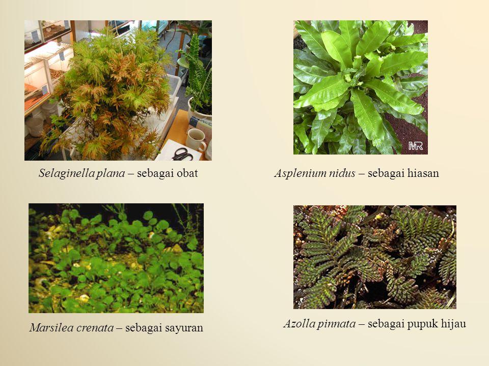 Selaginella plana – sebagai obatAsplenium nidus – sebagai hiasan Marsilea crenata – sebagai sayuran Azolla pinnata – sebagai pupuk hijau