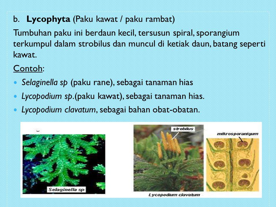 b. Lycophyta (Paku kawat / paku rambat) Tumbuhan paku ini berdaun kecil, tersusun spiral, sporangium terkumpul dalam strobilus dan muncul di ketiak da