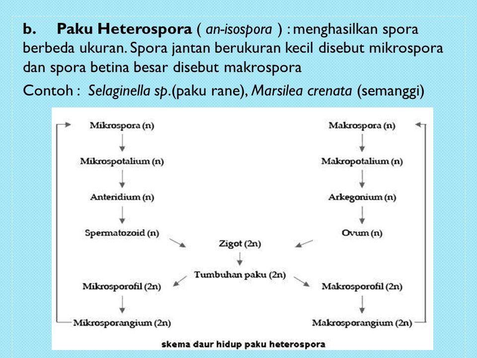 b. Paku Heterospora ( an-isospora ) : menghasilkan spora berbeda ukuran. Spora jantan berukuran kecil disebut mikrospora dan spora betina besar disebu