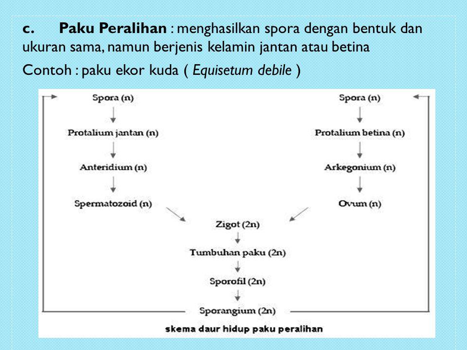 c. Paku Peralihan : menghasilkan spora dengan bentuk dan ukuran sama, namun berjenis kelamin jantan atau betina Contoh : paku ekor kuda ( Equisetum de