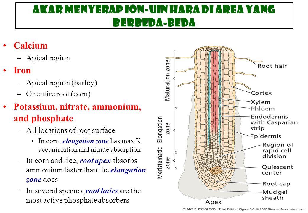 Akar menyerap ion-uin hara di area yang berbeda-beda Calcium –Apical region Iron –Apical region (barley) –Or entire root (corn) Potassium, nitrate, am