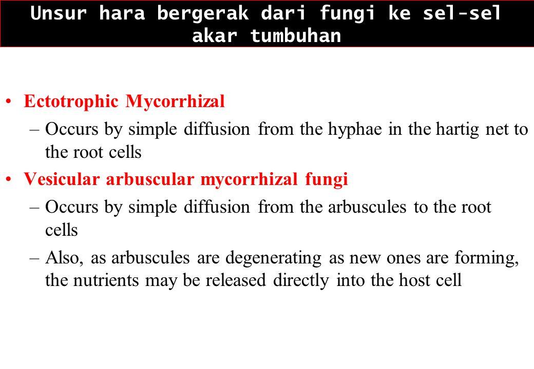 Unsur hara bergerak dari fungi ke sel-sel akar tumbuhan Ectotrophic Mycorrhizal –Occurs by simple diffusion from the hyphae in the hartig net to the r