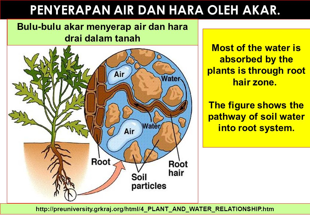 Penyerapan Air oleh Akar Tanaman 1.The surface area of the roots is increased by root hairs.