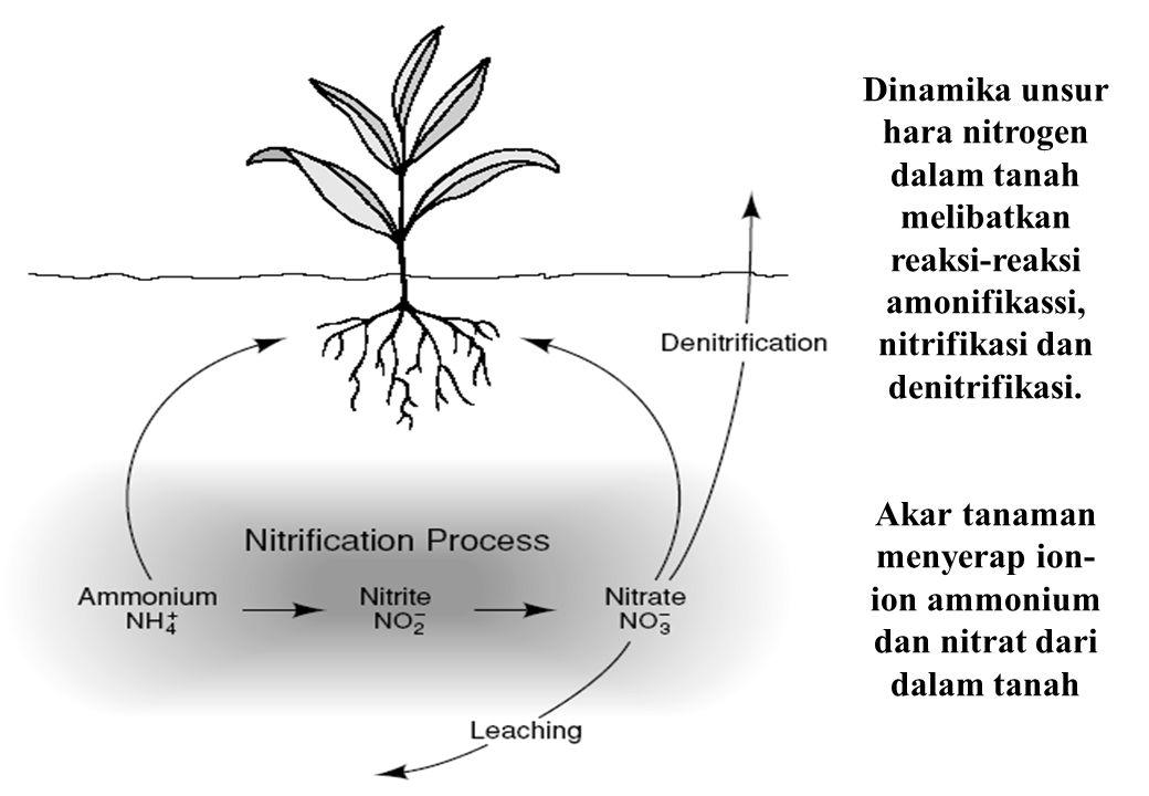 Dinamika unsur hara nitrogen dalam tanah melibatkan reaksi-reaksi amonifikassi, nitrifikasi dan denitrifikasi. Akar tanaman menyerap ion- ion ammonium