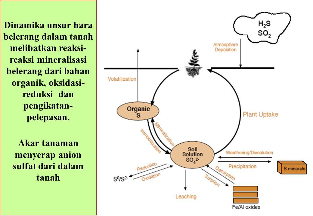 Dinamika unsur hara belerang dalam tanah melibatkan reaksi- reaksi mineralisasi belerang dari bahan organik, oksidasi- reduksi dan pengikatan- pelepas
