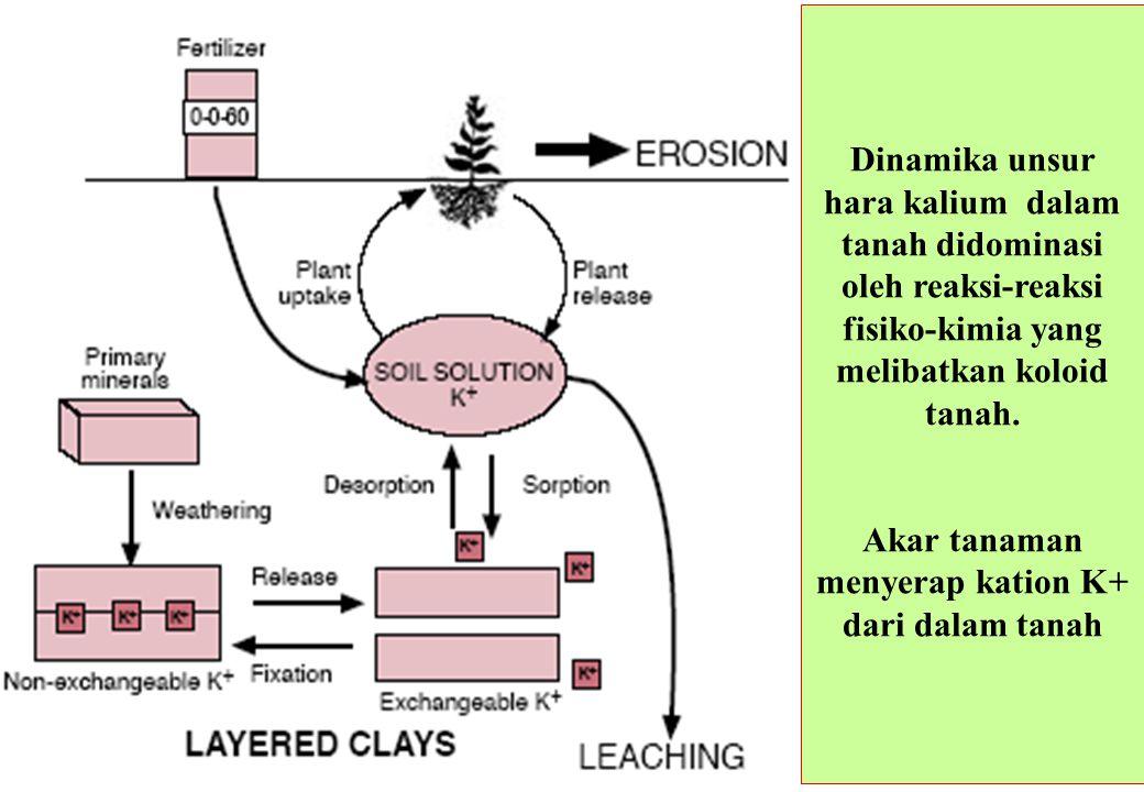 Dinamika unsur hara kalium dalam tanah didominasi oleh reaksi-reaksi fisiko-kimia yang melibatkan koloid tanah. Akar tanaman menyerap kation K+ dari d