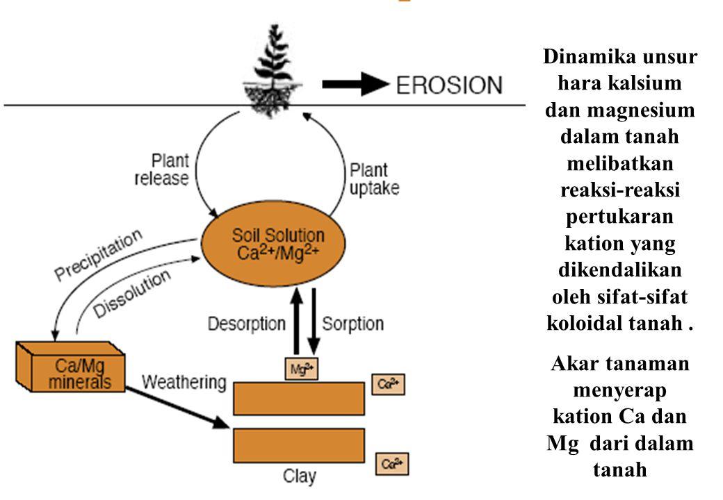 Dinamika unsur hara kalsium dan magnesium dalam tanah melibatkan reaksi-reaksi pertukaran kation yang dikendalikan oleh sifat-sifat koloidal tanah. Ak