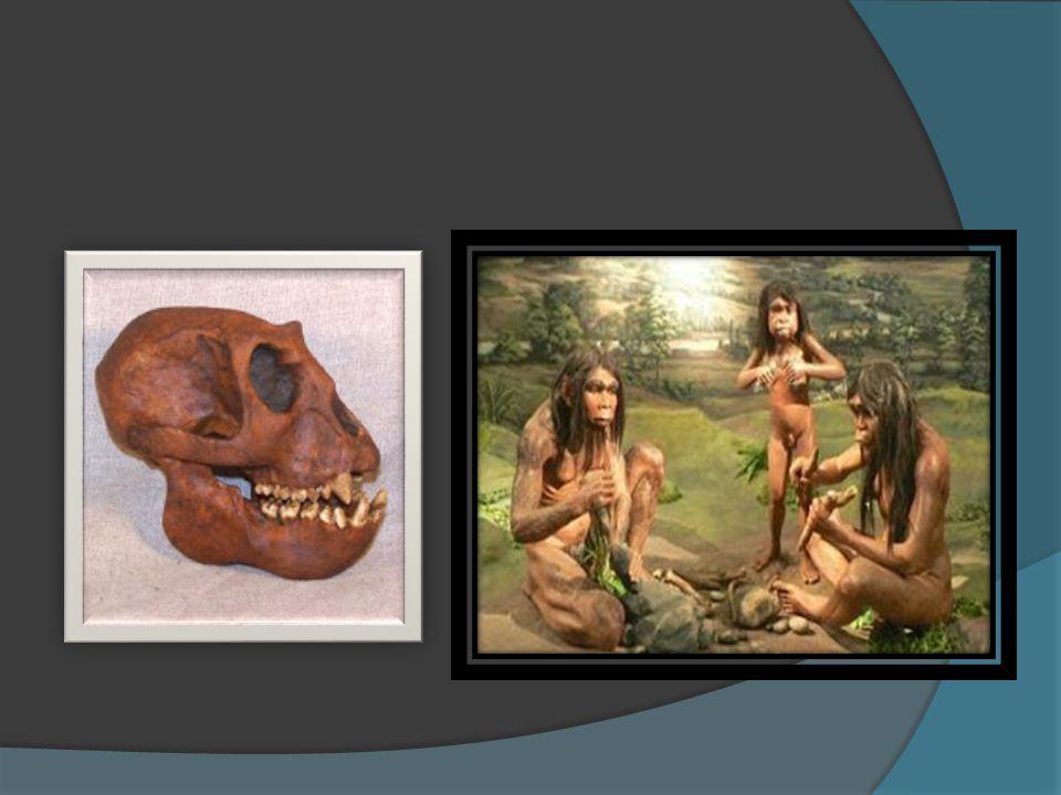  Ciri-Ciri Meganthropus Paleojavanicus :  1. Mempunyai otot kunyah, gigi, dan rahang yang besar dan kuat  2. Tidak mempunyai dagu, sehingga lebih m