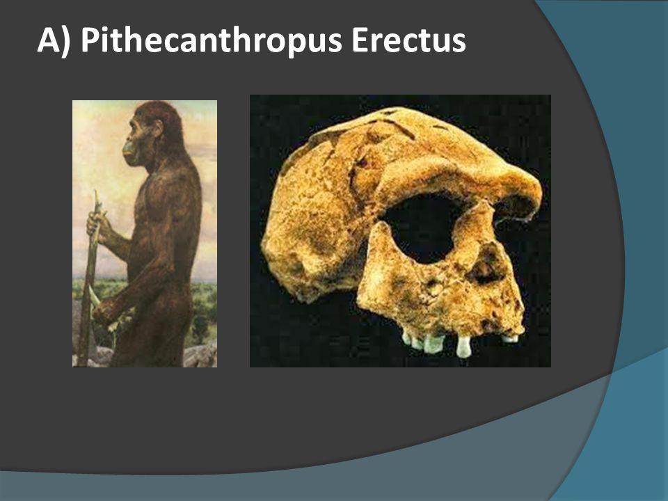  Jenis-Jenis Manusia Purba di Indonesia  A. Pithecanthropus  Ciri-Ciri Pithecanthropus :  1. Mempunyai hidung lebar dan tidak berdagu  2. Mempu
