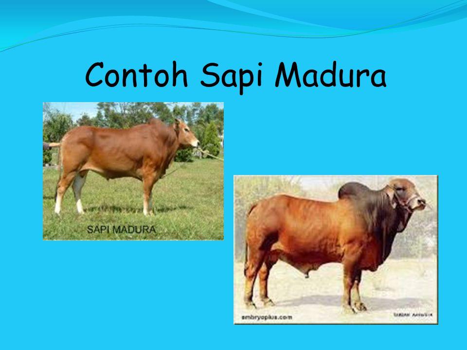 Contoh Sapi Madura