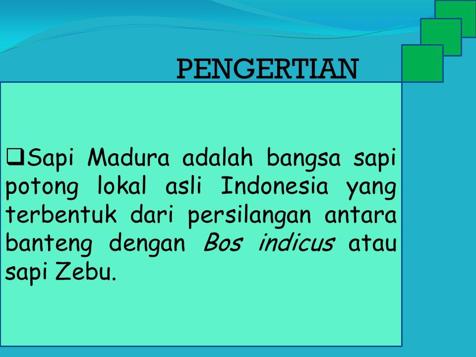  Sapi Madura adalah bangsa sapi potong lokal asli Indonesia yang terbentuk dari persilangan antara banteng dengan Bos indicus atau sapi Zebu. PENGERT