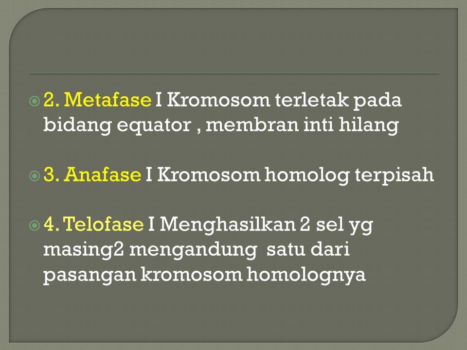  2.Metafase I Kromosom terletak pada bidang equator, membran inti hilang  3.