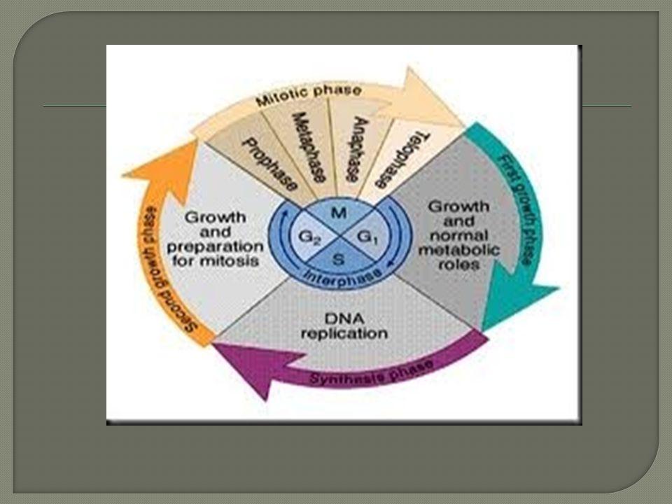  Sedangkan 2 sel yg lain kromosomnya tidak sama dengan kedua kromosom orang tuanya karena salah satu lengan kromosom yg berpasangan tersebut mengalami kiasma dan disana telah terjadi pindah silang gen2 nya.