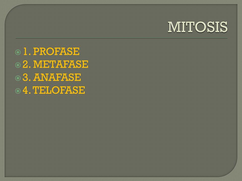  1. PROFASE  2. METAFASE  3. ANAFASE  4. TELOFASE